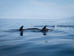 Pod of pilot whales showing their dorsal fins in calm water