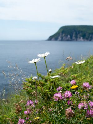 Bouquet of wildflowers overlooking the Gulf of St. Lawrence